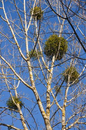 arbol alamo: Álbum de muérdago Viscum de álamo en la primavera y el cielo azul de fondo Foto de archivo