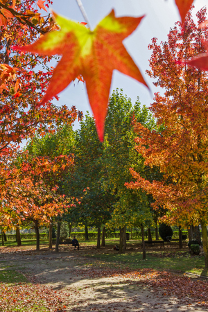 palmate: Sweet gum  Liquidambar  palmate leaf with bright fall colors Stock Photo