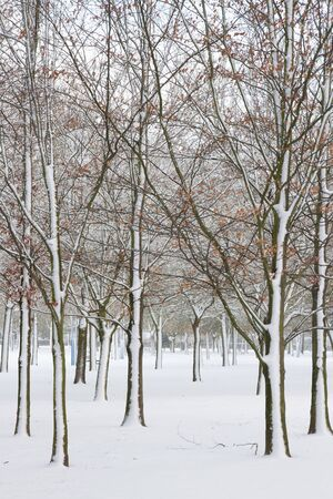 catalpa: Urban park or green area in winter. The soil and the trees full of snow