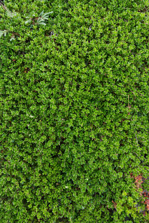 naturist: Plant and bearberry leaves - Plant with medicinal properties. Bearberry leaves, bearberry, Arctostaphylos uva-ursi Stock Photo