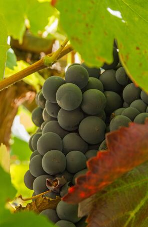 detail of bunch: Detail of bunch of black grapes hidden Among the leaves of the vine, ready for harvesting Stock Photo
