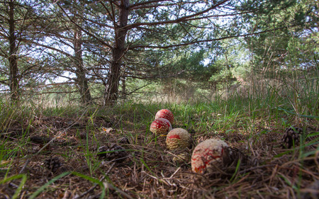 pinecones: Fly agaric mushrooms row on the floor of a pine forest, Accompanied by pinecones lying on the ground