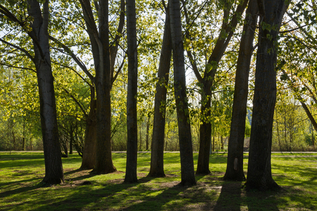 poplar  banks: Trees with trunks of poplars Poplars backlit in public park beside the river and spring Stock Photo