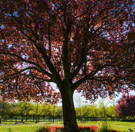 prunus cerasifera: Cup or red plum tree Prunus, with reddish leaves. Park in spring Stock Photo