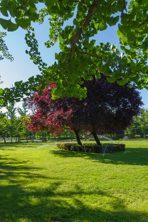 prunus cerasifera: Sprinkling of green grass of a park with trees in spring. Branches of ginkgo biloba in the foreground and in the center Plum Prunus Stock Photo