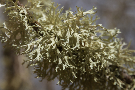 Detail of lichens on the branch of an oak Banque d'images