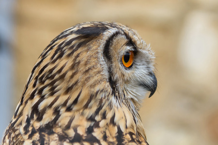 abductor: Indian Eagle Owl and the horned owl profile downloaded Stock Photo