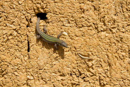 hollow walls: Lizard out of a hole in a sunny adobe wall