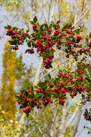 Hawthorn Crataegus laevigata branches full of fruits network. With blurred background autumn poplars
