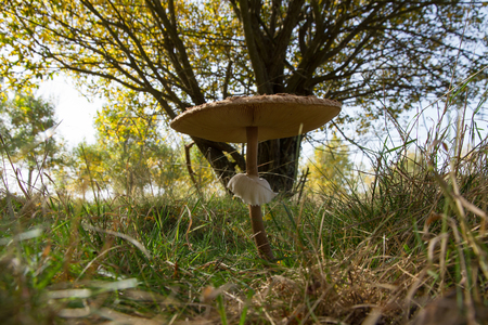 gills: Parasol Mushroom in autumnal landscape with trees With snakeskin Unique and characteristic ring. Revealing the sheets or gills under the cap Stock Photo
