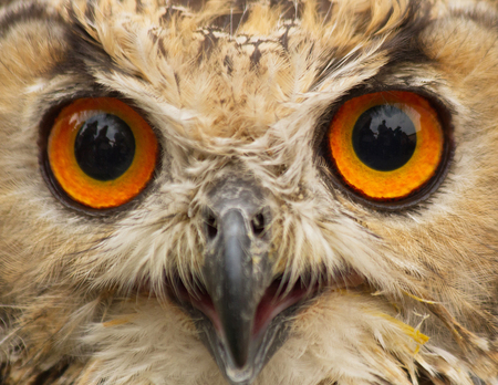 abductor: Indian Eagle Owl Close up public display, staring at the camera. With reflections in the eyes of the environment With people Stock Photo