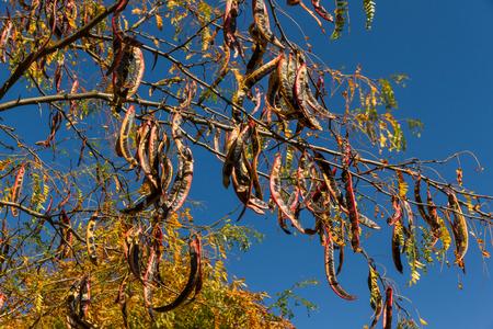 langosta: Vainas o frutos de langosta de miel de algarrobo, colgando de una rama en oto�o Foto de archivo