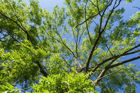 weeping willow: Cup Weeping Willow Tree seen from below with sky background
