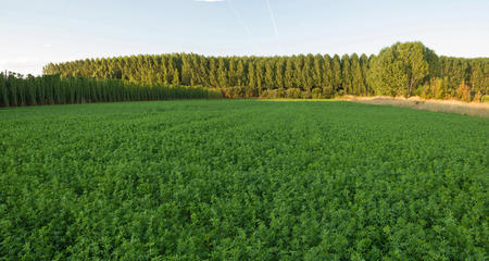 medicago: Agriculture alfalfa forage Side hops plantation of poplars and other background Stock Photo