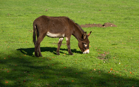 zamora: Ass or donkey grazing in the field with green grass