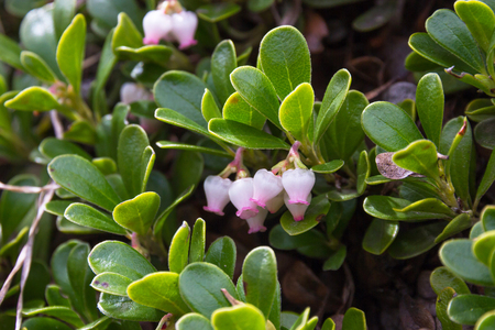 Leaves bearberry, Arctostaphylos uva-ursi. Plant with medicinal properties