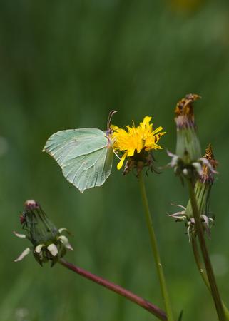 gonepteryx: Brimstone Butterfly Gonepteryx rhamni on flower Dandelion