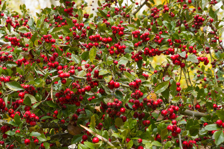 laevigata: Hawthorn Branches with Red Fruits