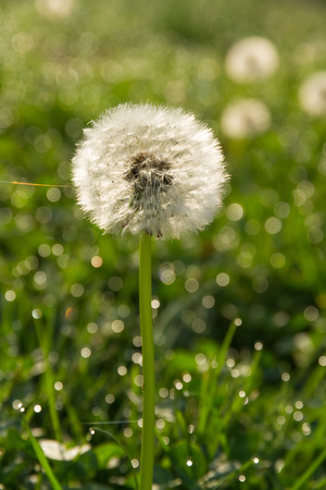 pappus: Nut with dandelion seeds in green meadow, with dew