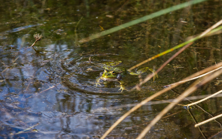 anuran: Horny Frog with swollen bags in a pond and resonance Among the reeds