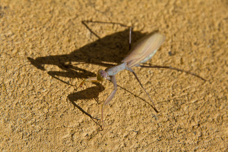 earthy: With the Insect mantis camouflaged or earthy ocher wall