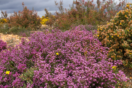 Heather and flowering shrubs in pink or mauve and yellow