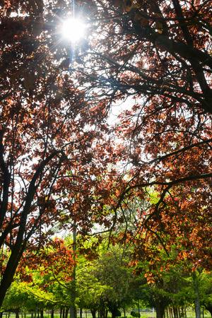 plano: Red Cherry plum tree, backlit, with reddish leaves in the foreground and the background other ginkgo trees. Park in spring - Arbol Prunus Ciruelo rojo , a contraluz, con las hojas rojizas en primer plano y otros arboles ginkgo al fondo. Parque en primaver