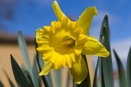 daffodil: Yellow daffodil flower