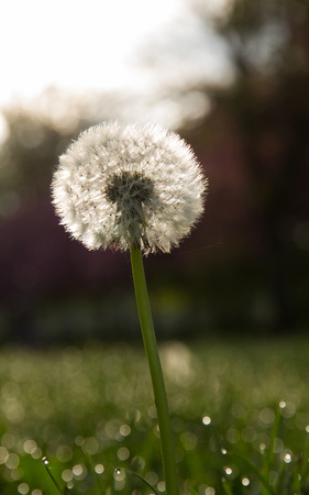threadlike: Nut with dandelion seeds in green meadow, with dew