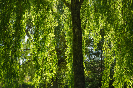 weeping willow: Trunk and branches hanging backlit curtain Weeping Willow Stock Photo