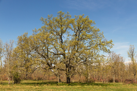 centennial: Big centennial oak in spring