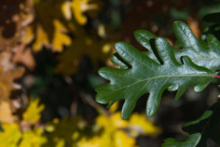 lobed: Detail of green leaf lobed White Oak on blurred background of yellow leaves in the transition to autumn