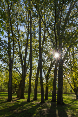 poplar  banks: The suns rays penetrating poplar trees in spring Between backlit Stock Photo