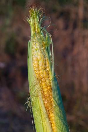 zea mays: Corncob half open, revealing grains of corn Stock Photo