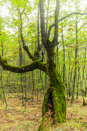 sediments: Young beech forest in early autumn With an oak tree in the foreground full of green moss