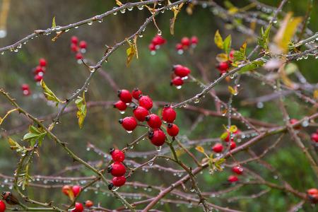gotas de agua: Caderas. Baya roja del rosal silvestre (Rosa canina) en otoño con gotas de lluvia