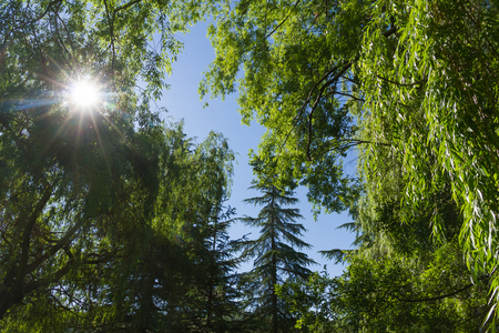 willows: The suns rays penetrate through the vegetation of Trees with weeping willows and firs or pin in summer