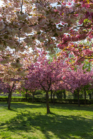 Species of flowering cherry trees and Japanese plum in different shades of pink color, in a urban park