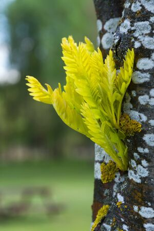 Outbreaks of spring leaves on the same tree trunk Stock Photo