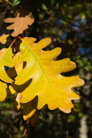 Detail of yellow leaf lobed White Oak