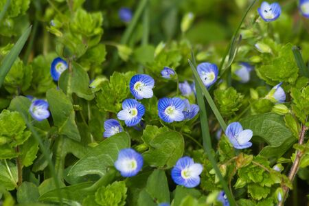 speedwell: Persian Speedwell wildflowers in spring Stock Photo