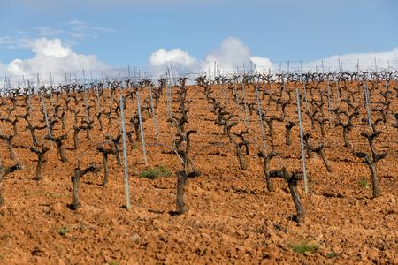 wine road: Vineyard plantation in row in spring, in slope
