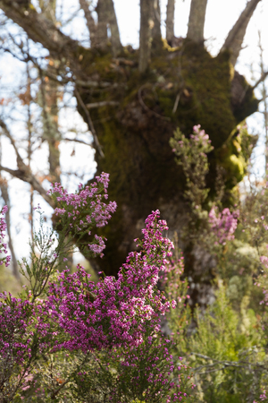 ericaceae: Heather plants flowered with a large oak background