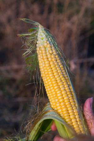 mujer: Woman hand holding a fresh corn cob - Mano de mujer sosteniendo una mazorca de maiz fresca  mazorca, maiz, mano, mujer, mazorca de maiz, granos, abierta, verde, amarillo, naranja, dorado, semi abierta, atardecer, dia, soleado, naturaleza, natural, plan Stock Photo