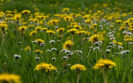 Meadow in spring, and filled with fresh green grass and dandelion flowers Daisies, to  Backlight - Prado en primavera, con la hierba verde fresca y lleno de flores Diente de Leon y Margaritas silvestres, a contraluz   diente de leon, margaritas, primav