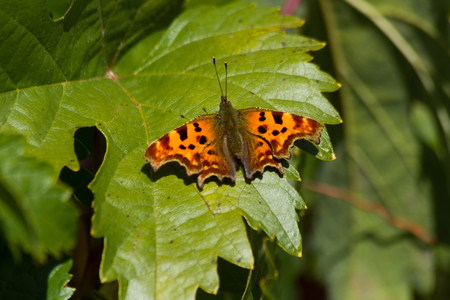 Butterfly Polygonia c-album or Nymphalis c-album perched on a vine leaf. With the wings open