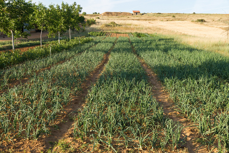 Small plot or land of cultivated land with onions, potatoes, fruit trees and other