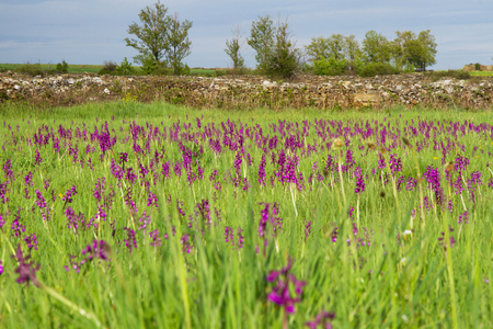 Sunny landscape with green grass and high in spring, plagued by wild purple orchid flowers. With two poplars in the background and stone fences