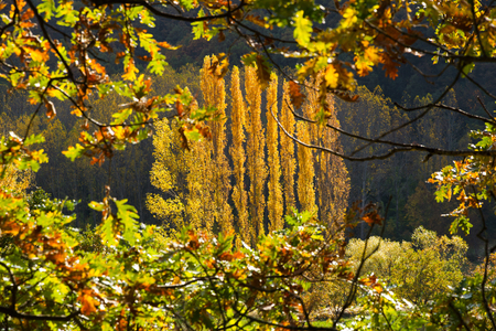 High yellow poplars in autumn framed between branches and oak leaves