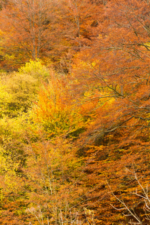 Detail of splendid autumnal beech foliage with ocher, reddish and yellow tones